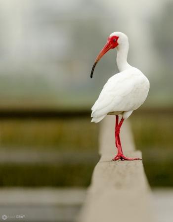 On the Edge - White Ibis