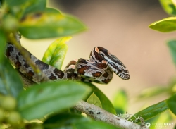 Baby Rat Snake