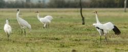 Whooping Crane Dance
