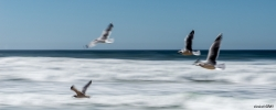 Gulls in Motion