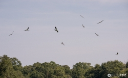 A group of nine Swallow-Tailed Kites