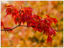Fall Maple Leaf Color
