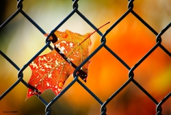 Leaf in a Fence